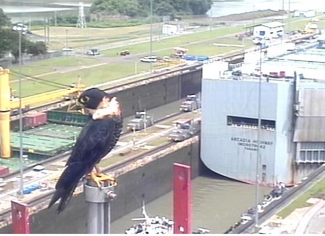 Panama Canal Bird (from webcam)